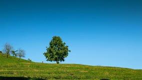 茶园的单独树 免版税库存照片