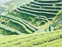 Mae Salong小山的茶园在清莱,泰国 免版税库存照片