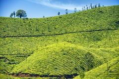 茶园, Munnar,喀拉拉,印度 库存照片