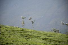 茶园, Munnar,喀拉拉 库存图片
