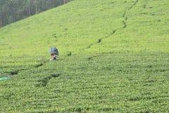 茶园, Munnar,喀拉拉 库存照片