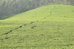 茶园, Munnar,喀拉拉 图库摄影
