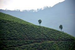 茶园, Munnar 库存图片