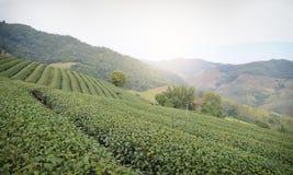 茶土地  库存图片