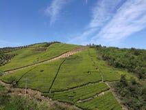 绿茶在浙江诸暨茶山中国 库存照片