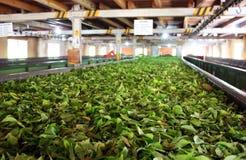 茶工厂 免版税库存照片