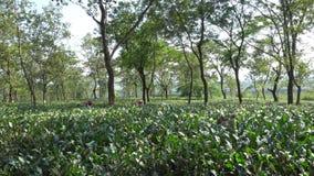 茶庄园, Dooars,北部孟加拉-印度 股票视频