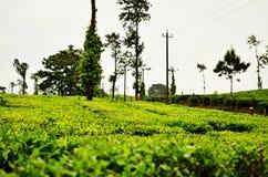 茶庄园 免版税图库摄影