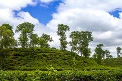 茶手段领域风景在Moulovibazar,孟加拉国 库存图片
