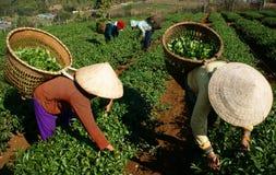 茶捡取器在农业种植园的采撷叶子 免版税库存照片