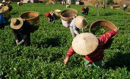茶捡取器在农业种植园的采撷茶 免版税库存照片
