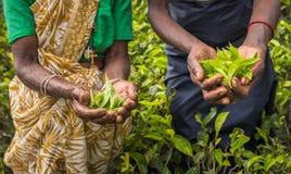 茶捡取器在努沃勒埃利耶,斯里兰卡 库存照片