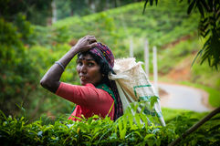 茶捡取器在茶园 库存照片