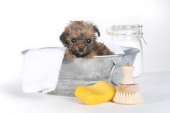 茶杯在白色沐浴的约克夏狗 库存照片