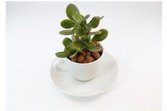 茶杯的金钱植物 免版税库存图片