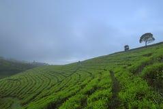 茶树的样式 免版税库存图片