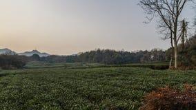 茶树的领域在黄昏的在杭州,中国 免版税库存照片