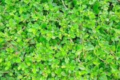 茶树篱芭 库存图片