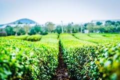 绿茶树行  免版税库存照片