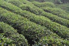 茶植物增长在小山一边在中国 库存图片