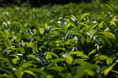 茶灌木 免版税库存图片