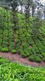 绿茶灌木 免版税图库摄影
