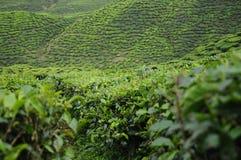 绿茶种植园在喀麦隆高地谷 免版税图库摄影
