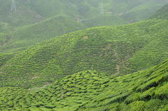 绿茶种植园在喀麦隆高地谷 图库摄影