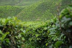 绿茶种植园在喀麦隆高地谷 库存照片