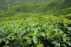 绿茶种植园在喀麦隆高地谷 库存图片