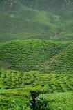 绿茶种植园在喀麦隆高地谷 免版税库存图片