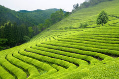 绿茶种植园小山和行韩国 免版税库存图片
