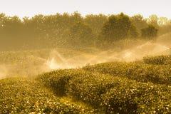 绿茶种植园横向 免版税库存图片