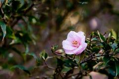 茶科植物山茶花蜂巢胃的美丽的精美桃红色花 免版税图库摄影