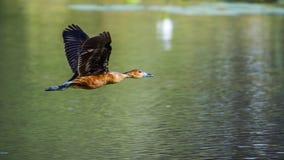 茶色的吹口哨鸭子在Mapungubwe国家公园,南非 免版税库存图片