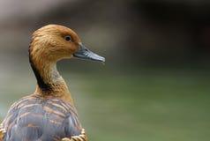 茶色的吹哨的鸭子画象 免版税库存图片