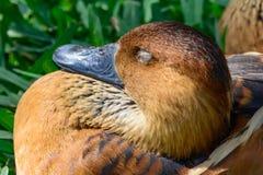 茶色的吹哨的鸭子& x28; Dendrocygna bicolor& x29;特写镜头睡觉i 库存照片