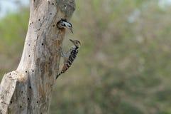 茶色的breasted啄木鸟 免版税库存图片