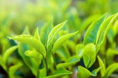 绿茶芽和新鲜的叶子 关闭茶园领域在努沃勒埃利耶,斯里兰卡 免版税库存照片
