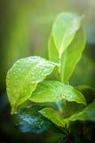 绿茶芽和新鲜的叶子 关闭茶园领域在努沃勒埃利耶,斯里兰卡 免版税库存图片