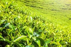 绿茶芽和新鲜的叶子 茶园领域在努沃勒埃利耶,斯里兰卡 免版税库存照片