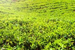绿茶芽和新鲜的叶子 茶园领域在努沃勒埃利耶,斯里兰卡 库存图片