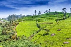 绿茶芽和新鲜的叶子 茶园领域在努沃勒埃利耶,斯里兰卡 免版税图库摄影