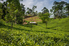 绿茶芽和新鲜的叶子 茶园领域在努沃勒埃利耶,斯里兰卡 库存照片