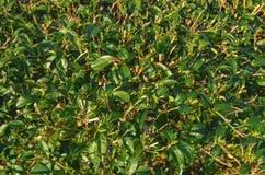 绿茶芽和新鲜的叶子 茶园 免版税库存图片