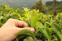 茶采摘手 免版税库存图片
