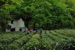茶采摘,杭州,中国 免版税库存照片