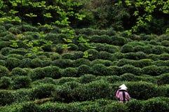 茶采摘,杭州,中国 免版税库存图片