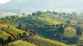 茶领域在思茅 免版税库存图片