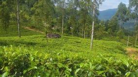 茶领域在斯里兰卡 股票录像